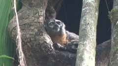 Nanvy Ma Night Monkey female with baby in hollow tree trunk in the amazon Stock Footage