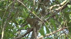 Pygmy Marmoset crosses liana in the amazon rainforest Stock Footage