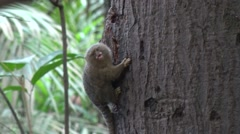 Pygmy Marmoset hang and feed on big tree trunk in the amazon rainforest Stock Footage