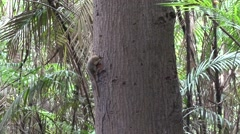 Pygmy Marmoset hang and feed on big tree trunk in the amazon rainforest - stock footage