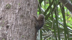 Pygmy Marmoset hanging on tree trunk and scratching himself in the amazon Stock Footage