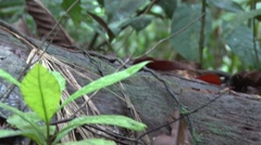 Ranitomeya amazonica Poison Dart Frog jumps in the undergrowth in the Amazon - stock footage