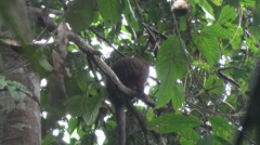 Red Titi Monkey getting fruit in the tree trops and feed in the tree tops of Stock Footage