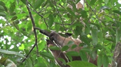 Southern Tamandua moving in tree in the amazon rainforest close up Stock Footage