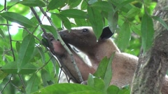 Southern Tamandua rests in tree and sniffing around in the amazon rainforest Stock Footage