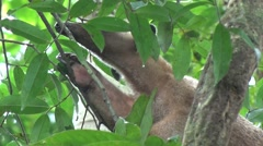 Southern Tamandua rests in tree in the amazon rainforest close up Stock Footage
