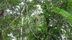 Southern Tamandua rests in tree in the amazon rainforest zooming in Stock Footage