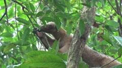 Southern Tamandua rests in tree with dripping nose in the amazon rainforest Stock Footage