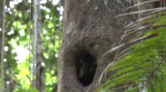 Yellow-crowned brush-tail rat coming out from hide in tree hole in the amazon - stock footage
