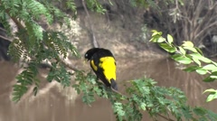 Yellow-rumped Cacique singing and shaking his body and fly away in the Amazon Stock Footage