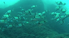 Two-banded bream Mallorca Spain Stock Footage