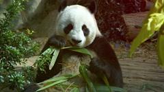 Panda Eating Young Bamboo at the Zoo. UltraHD video Stock Footage