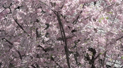 Washington DC National Cathedral cherry blossoms slate roof HD Stock Footage
