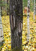 Stock Photo of notch on the stem of aspen tree