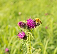 flower of thistle - carduus with bumblebee - stock photo