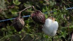 Cotton field (Gossypium hirsutum). Stock Footage