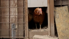 Slow-motion shot of a free range hen leaving her henhouse - stock footage