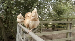 Free Range Hens Escaping From Yard - stock footage