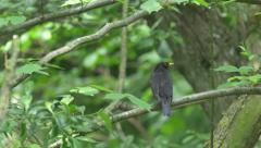 Blackbird on Branch in Forest Stock Footage