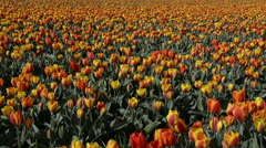 Dolly shot over Tulip fields in Holland, the Netherlands Stock Footage