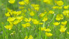 Common Buttercup Flower Stock Footage