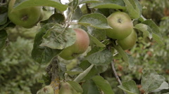 A shot of cooking (crab) apples still growing on the tree. Stock Footage