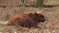 Scottish highland cattle, ruminant cow in forest - side view Stock Footage