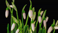 Soft White Snowdrops Blossom. Stock Footage