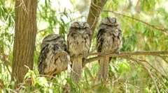 Three young tawny frogmouth (podargus strigoides) birds roosting together on Stock Footage