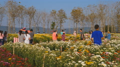 people travel and walking in chrysanthemum farm of Wang Nam Kheaw - stock footage