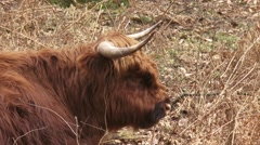 Scottish highland cattle, ruminant cow in forest - close up. - stock footage
