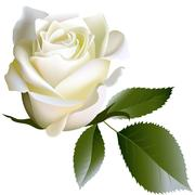 White realistic rose flower and leaves Stock Illustration