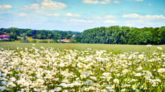 Country landscape with wild daisies. 4K Stock Footage