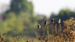 Four Scaly-breasted Munia cleaning wings Stock Footage