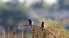 Two Scaly-breasted Munia resting and cleaning wings Stock Footage