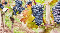 Farmer checking grapes on vine branch before harvest Stock Footage