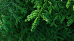 Close-up of fir branches. Stock Footage