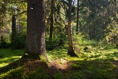 Old coniferous stand of Bialowieza Forest in summer morning Stock Photos