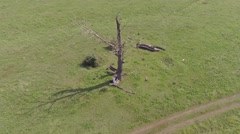 Dryed out tree in the middle of green field Stock Footage