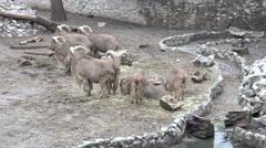Family of Bighorn Rams. 4K UltraHD, UHD - stock footage