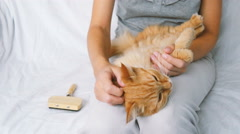 The Woman Combs A Dozing Cat's Fur. Ginger Cat Lies On Woman Legs - stock footage