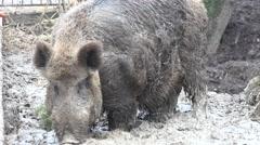 Big Pig in Absolute Mud. Closeup. 4K UltraHD, UHD Stock Footage