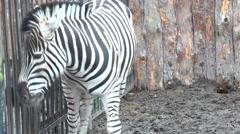 Close up of the Zebra.. 4K UltraHD, UHD Stock Footage