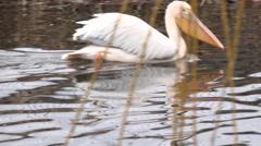 Great White Pelican (Pelecanus Onocrotalus)  on the River. Closeup. 4K UltraHD, Stock Footage