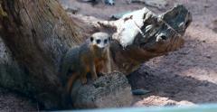 4K - Group of meerkat babies - Suricata Suricatta Stock Footage