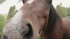 A closeup shot of a Welsh Cob Breed of Horse shot in slow motion Stock Footage