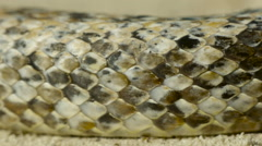 Antiguan racer snake on beach, scales close-up. - stock footage