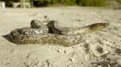 Antiguan racer snake on beach. Stock Footage