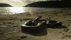 Antiguan racer snake on beach. Stock Footage