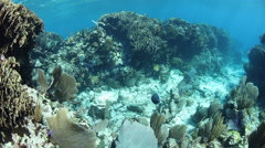 Caribbean Coral Reef and Blue Tang Stock Footage